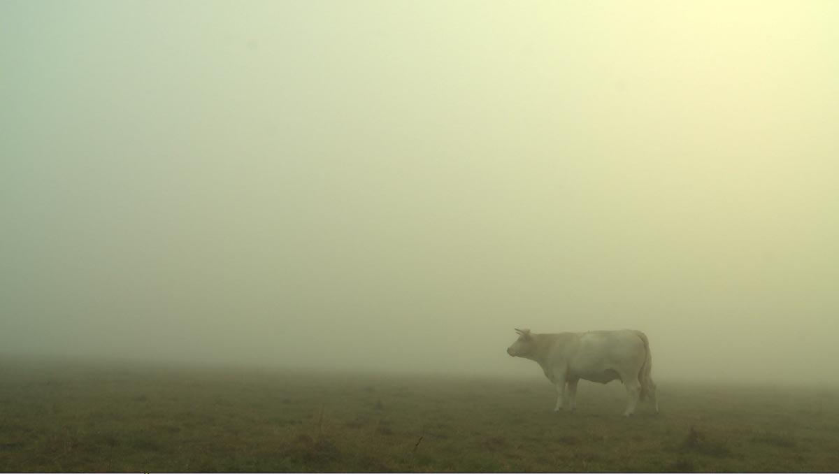Bovines : photo