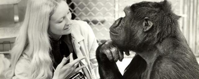 Décès de Koko, la célèbre femelle gorille immortalisée par Barbet Schroeder à l'écran