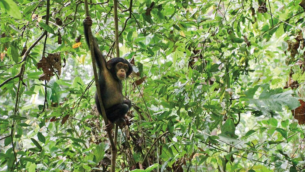 Chimpanzés : Photo Mark Linfield